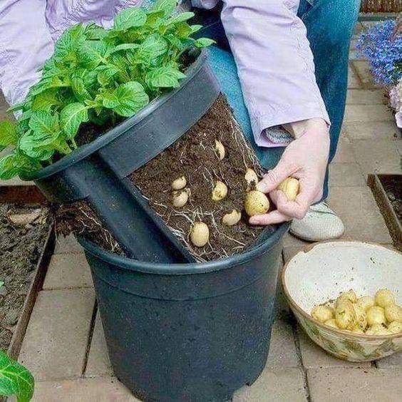 5 plantes comestibles faciles cultiver epi ces blog - Pomme de terre germee comestible ...