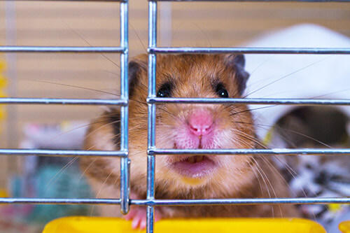 Hamster-dans-une-cage